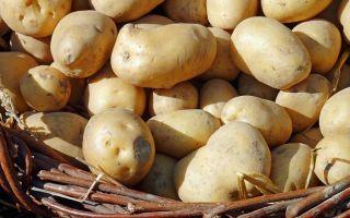 Фитофтора на картофеле. Признаки болезни и способы лечения