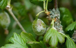 Мучнистая роса на клубнике, смородине, крыжовнике, шиповнике и других ягодах
