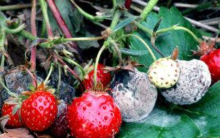 Фитофтора клубники, земляники и других ягод