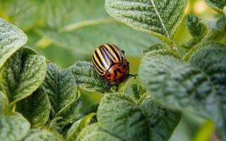 Колорадский жук. Методы борьбы с колорадским жуком