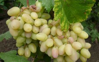 Виноград Преображение: описание сорта, фото, отзывы, рекомендации по уходу