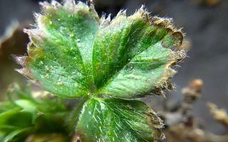 Паутинный клещ на клубнике и других ягодах: как бороться
