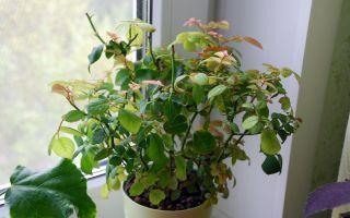 Паутинный клещ: как бороться на комнатных растениях