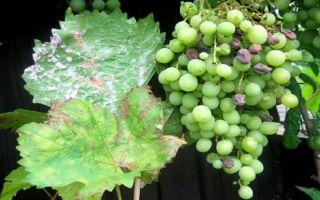 Мучнистая роса на винограде: симптомы и методы борьбы