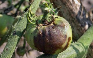 Фитофтора (Фитофтороз) растений и борьба с ним