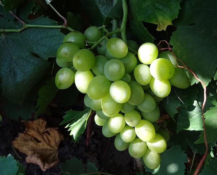 Виноград Девичий: описание сорта, фото, отзывы, рекомендации по уходу
