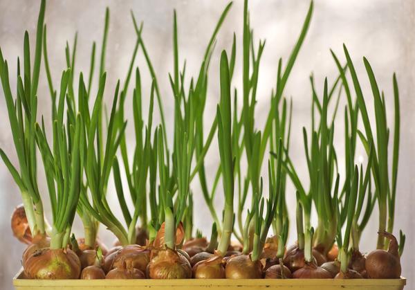 Специфика выращивания лука для получения зелени
