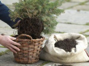Удобрение для хвойных растений